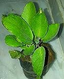 #7: OjOrey Stone of kidney plant (patharchatta plant)