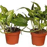 Dominik Blumen und Pflanzen, Efeutute, Epipremnum aureum, 2 Pflanzen,...