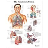 3B Scientific The Respiratory System Chart Laminated Version by 3B Scientific Bild