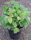 PLAT FIRM GERMINATIONSAMEN: Dwarf mounding Viburnum - V. opulus nanum - Hexenbesen - 1 Gallone lebende Pflanzen