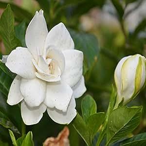 Semi 50pcs giardino bianco gardenia all 39 aperto profumati - Gardenia pianta da giardino ...