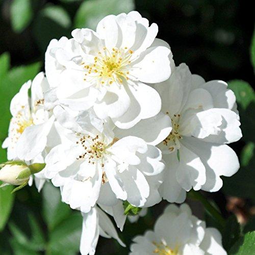 """Ramblerrose """"Guirlande d'Amour (Premium) - weiß blühende Topfrose, im 6 L Topf - frisch aus der Gärtnerei - Pfllanzen-Kölle Gartenrose"""