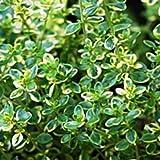 lichtnelke - Zitronenthymian (Thymus x citriodorus)