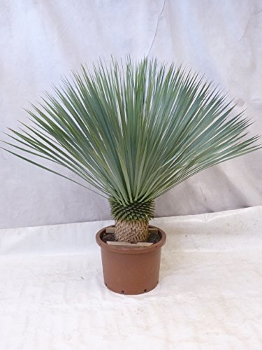 [Palmenlager] Yucca rostrata 130 - Stamm 30/40 cm - Winterharte Palme -