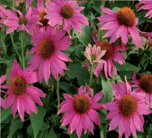 JustSeed Blume Echinacea Powwow Wild Berry 20 als gro e Pack -