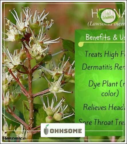 Pinkdose Exotische Pflanzensamen Farbstoff Henna-Baum-Samen Strauch Samen Für Border Seeds Küche Garten Samen Packung Saatgut