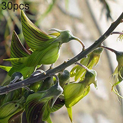 luo-401xx 30pcs birdflower crotalaria cunninghamii semi vari, bella facile da coltivare bonsai balcone pianta per la decorazione del cortile giardino domestico semi di crotalaria cunninghamii