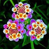 Nueva llegada !!! 100 PC / porción Lantana camara semillas de flores, hierbas raras perenne magnífico planta del árbol Bonsai Para el hogar Jardín de semillas en macetas 6