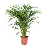 Choice of Green -1 Areca Dypsis Palma o oro pianta della camera di Palma in vaso di coltivatori ?21 cm-altezza ? 100 cm
