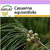 SAFLAX - Känguruhbaum - 200 Samen - Casuarina equisetifolia