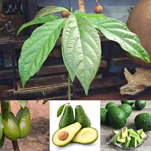 Belarn 10 Stück Avocado Samen Grüne Früchte Familie Gartenpflanze Bonsai Dekoration