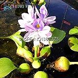 Green Seeds Co. 100pcs Bonsai del jacinto de agua bonsai bonsái de la flor Bonsai reloj de jardín Plantas acuáticas ornamentales plan de Mini casa de la charca japonesa: Borgoña