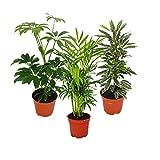 Zimmerpflanzen Set mit 3 Pflanzen - Typ 1 - 9cm
