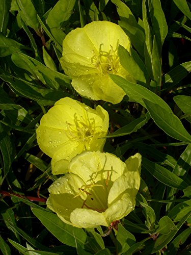 Oenothera missouriensis - Nachtkerze, 3 Pflanzen