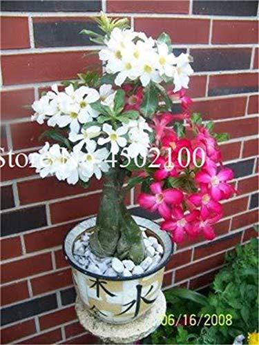 Pinkdose Vero 2 pezzi Adenium Obesum Bonsai esotico rosa del deserto Bonsai fiori in vaso Balcone multicolore petali piante grasse Seedsplants: 18