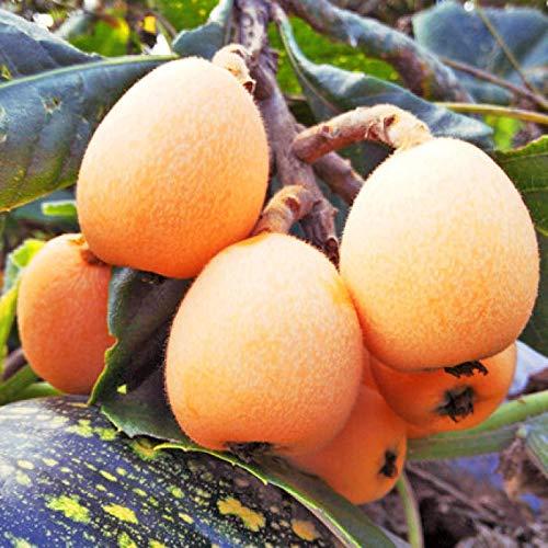 Keland Garten - 10 Stück Ostasien Obstsamen Wollmispel, Nespoli, Loquat Eriobotrya japonica Baumsamen im Topf- oder Wintergarten