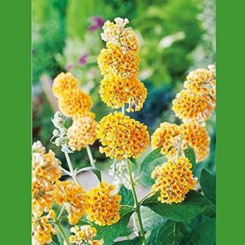 BALDUR-Garten Buddleia Sommerflieder 'Flower-Power®', 1