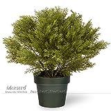 50 pezzi d'oro di ginepro Semi particolare varietà di Pinus pino mugo bonsai specie per la casa esterna dell'interno facile iniziare