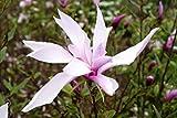 Magnolie Purpurmagnolie Nigra Magnolia liliiflora Nigra Containerware 40-60 cm