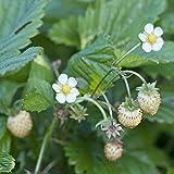 Generic Kölle Monats-Erdbeere Hummi® 'Weiße Fee' öftertragend, 12 cm Topf