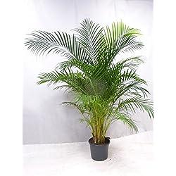 [Palmenlager] Goldfruchtpalme 200-220 cm - Areca Palme - großer 31 cm Ø Deko-Pot // Zimmerpflanze Zimmerpalme
