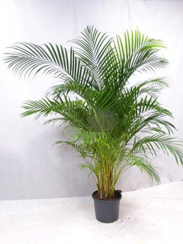 [Palmenlager] Goldfruchtpalme 200 cm - Areca Palme - großer 31 cm Ø Deko-Pot // Zimmerpflanze Zimmerpalme