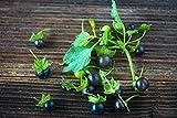 Jaltomate, Jaltomata procumbens 10 Samen,kirschgroße süß-aromatische Beeren