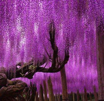 Zoom IMG-3 wisteria glicine vite semi alberelli