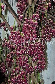 Shopvise importierte Samen Juckbohne Exotische Jadewein Stauden Kletter Garten-Blumen-Fragrant Startseite Samen Ing Leicht 30Pcs wachsen: 6