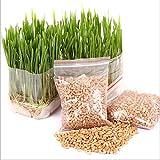 Handfly Premium Katzengras Samen Mini Bio Gras Grass Kit Pflanzensamen Hausgarten Bio Weizen Gras Pflanze Wachsen Weizengras für Haustiere: Hund, Katze, Vogel, Kaninchen (5 Packungen)