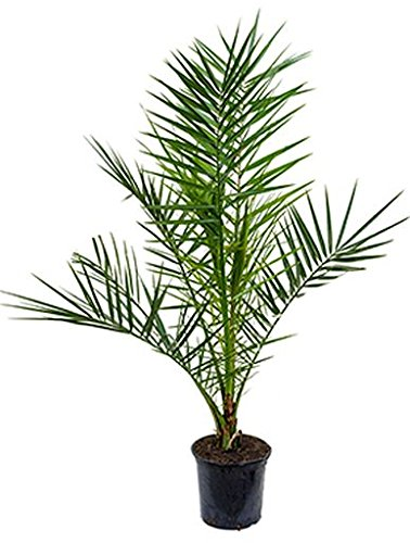 Dattelpalme, ca. 100 cm, Balkonpflanze exotisch, Terrassenpflanze viel Sonne, Kübelpflanze Südbalkon, Phoenix canariensis, im Topf
