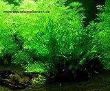 Mühlan - Wasserpflanzensortiment für Kaltwasserquarium, wiederstandsfähig, schnellwachsend, pflegeleicht inkl. Dünger
