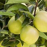 Apfel Baum 'Golden Delicious' Malus domestica im 7