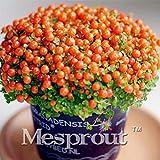 Portal Cool Promo 200 Semi Nertera Granadensis, Perlina per Lampada Semi di Erba, Tasso di germinazione 95%