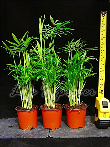 1-chamaedorea-elegans-palm-evergreen-house-office-plant-35-40cm-tall