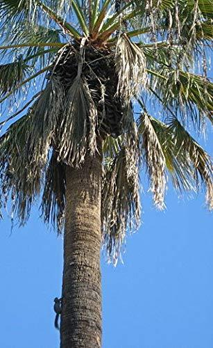 SONIRY Samen-Paket Nicht Pflanzen: Washingtonia Filifera Palme