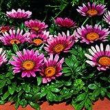 Pinkdose® Blumensamen: Gazania Bolero Mixed Planting Flowers Samen Garten Samen Variety Pack (7 Packete) Garten Pflanzensamen von