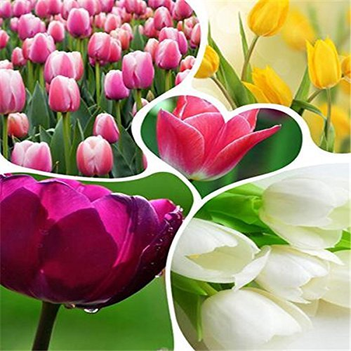 Galleria fotografica SwansGreen Grande vendita di vendita calda 500pcs semi bulbi di tulipano (colore della miscela casuale) bonsai semi di fiore di DIY giardino di casa