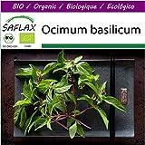 SAFLAX - Big Garden - BIO - Basilikum Thai - 250 Samen - Mit Gewächshaus, Töpfen, Anzuchtsubstrat und Dünger - Ocimum basilicum