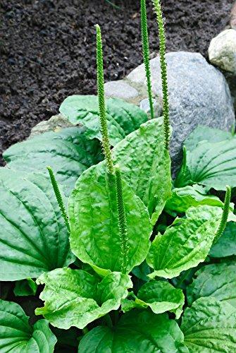 Breitwegerich Plantago major 1000 Samen