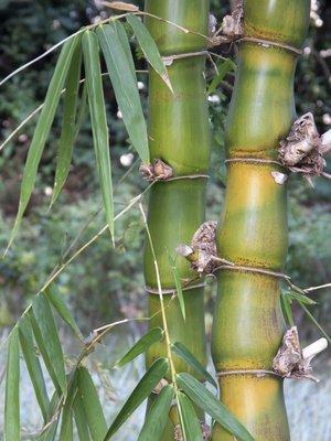 Buddha-Bauch Bambus 1000 Samen
