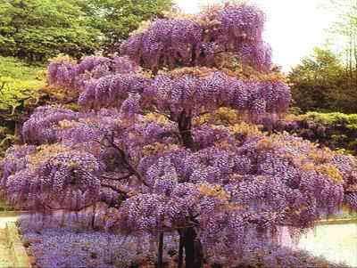 Shopmeeko 10 pièces Plantes de Bonsai Glycine Belli Fleurs au Couvert pour Bricolage Jardin de Maison décoration Plantes véritables et fraîche de Fleurs Pot Sementes : Prune