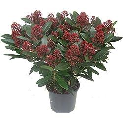 Skimmia japonica Rubella - japanische Blütenskimmie - winterharter, immergrüner, blühender Strauch 19 cm Topf Höhe 40 cm als Kübelpflanze - für Balkon, Terrasse, Garten,