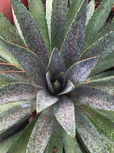 plat firm semi di germinazione: mangave, blut-sport, agave petite taille 2†topf (nicht fÌr californie)