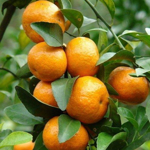 Mandarino - Citrus reticulata - Maceta de 25cm - 100cm de altura