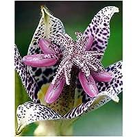 Suchergebnis auf Amazon.de für: Tricyrtis/: Garten
