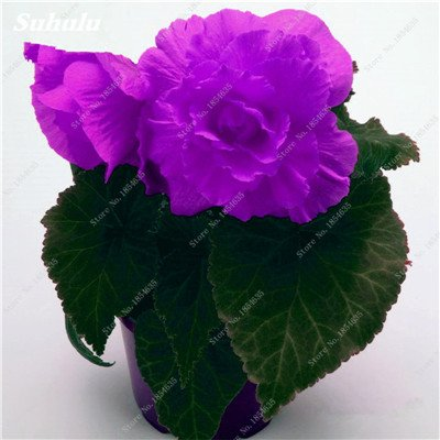Nouveau! 150 Pcs Begonia Graines Bonsai Graines de fleurs Bonsai Maison & Jardin Flor Plantes en pot Purifier l'Office Air Bureau Fleurs 12