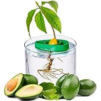 AvoSeedo Kit Cultivo de Aguacate en Casa - Uso Interior / Exterior o Para la Decoracion. Regalos Originales Para Hombre / Mujer