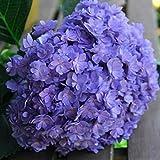 Ncient 20 Semi Sementi di Ortensia 10 Colori Hydrangea Perennial Bonsai Flower Seeds Semi di Fiori Rari Piante Bonsai per Orto Giardino Balcone Interni ed Esterni
