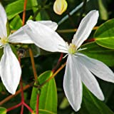 Clematis armandii Apple Blossom - 1 pflanze